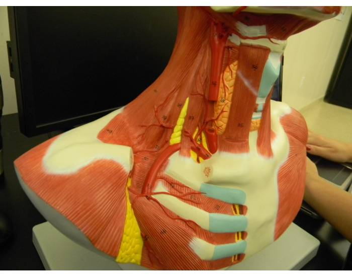 Muscles of the Neck (view 2)