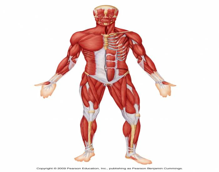 Anterior Muscles