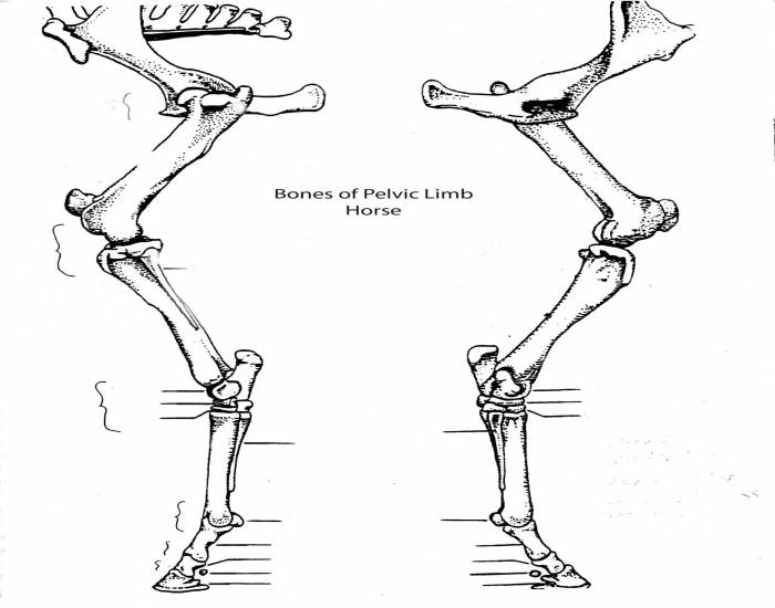 as 511 - bones of pelvic limb