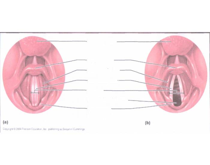Vocal Folds and Ligaments