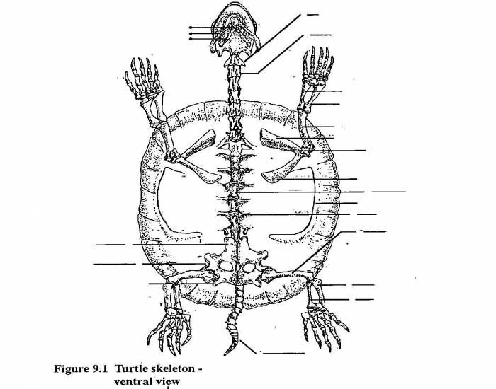 Turtle Skeleton Ventral View