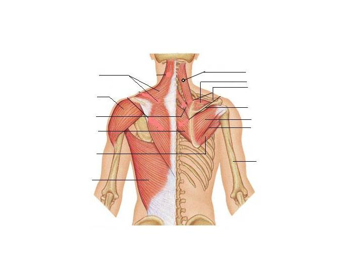 Muscles Of The Thorax And Shoulder Posterior View Purposegames