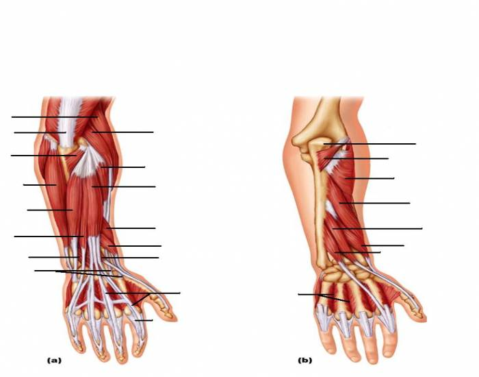 Muscles Of The Forearm Movements Of The Wrist Hand And Fingers
