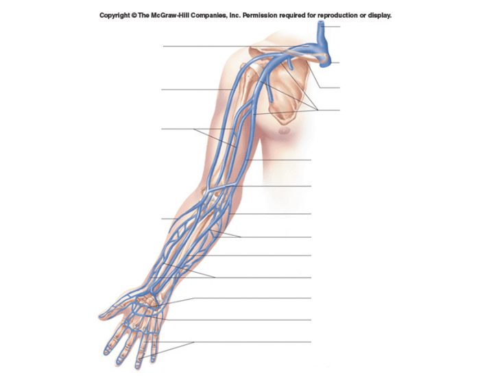 Veins Of The Arm