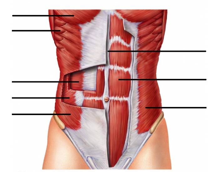 Abdominal Muscles Purposegames