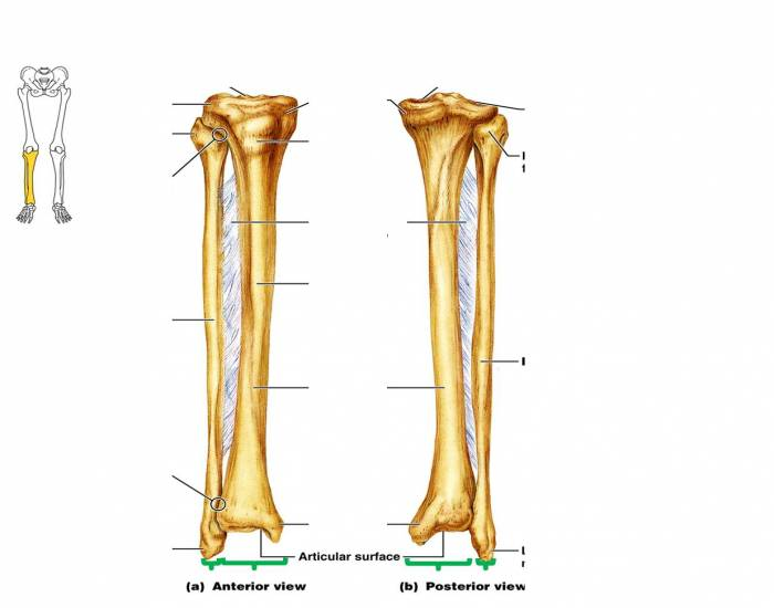 Tibia And Fibula Quiz