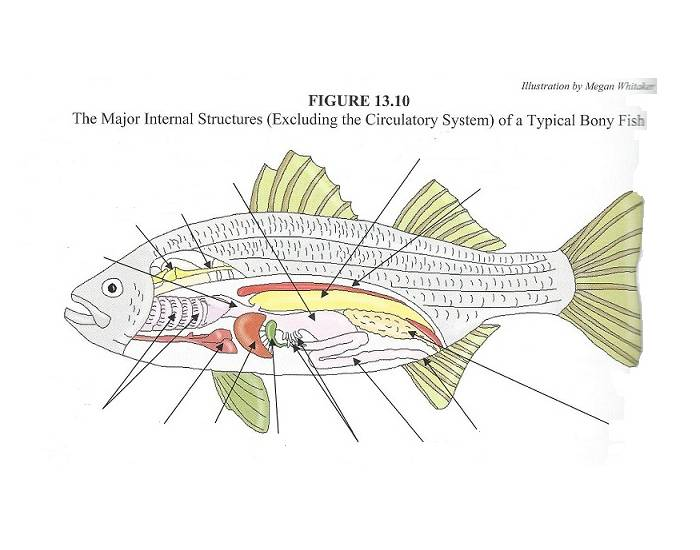 Drawing Fish Anatomy Diagram - Circuit Connection Diagram •