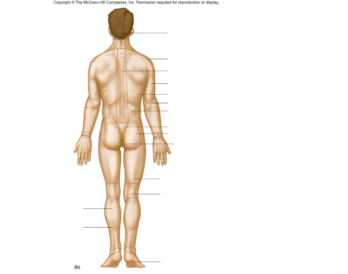 Anatomical Position Posterior Purposegames
