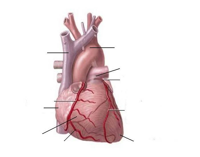 Coronary Circulation of the Heart