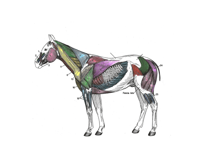 Superficial muscles of the horse purposegames ccuart Images