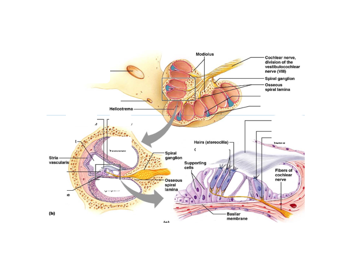Cochlea Diagram Labeled Quiz Basic Guide Wiring Diagram