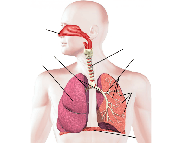 Respiratory system labeling interactive purposegames ccuart Choice Image