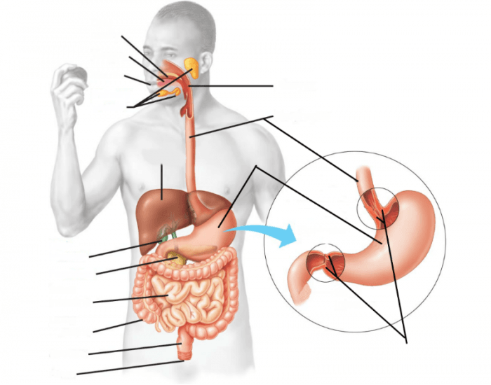 Digestive System Labeling Interactive Purposegames