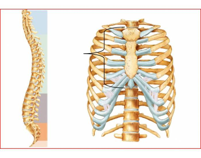 Spine and Thorax