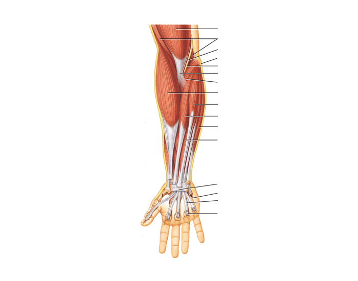 Anterior Forearm Muscles