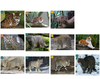 Felidae (Cats) - Lineage 7-8