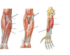 Flexor campartments of the forearm