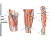 Femoral triangle and poplateal fossa