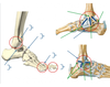 Joints and ligaments of ankle