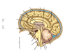 Label Parts of the Brain