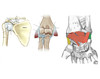 Joints & Ligaments of UE
