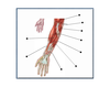 Muscles of the Forearm 1