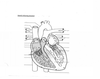Heart Diagram with pointers