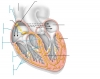 conduction of heart
