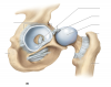 Appendicular Skeleton: Coxal Joint