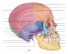 Axial Skeleton: Skull, Lateral View