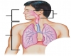 Luthy - Respiratory System