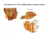 Facial Nerve and Relationships to Parotid Gland