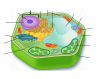 Typical Plant Cell Anatomy