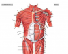 Muscles of Anterior Trunk