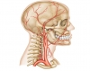 Luthy - Arteries of Head and Neck