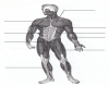 Anterior Muscles - SPED