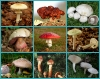 Commonplace Poisonous Mushrooms
