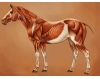 Simple equine muscles.