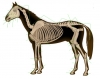 Skeleton of the horse ADVANCED - Dot Quiz