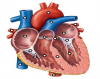 Parts of the Human Heart