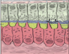 tooth histology