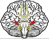 Brain Structures and CN's