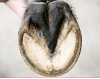 Facts about shoeing & the horses hoof - MatchingQ