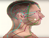 Primary Meridians of the Lateral Head