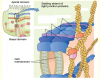 Three types of membrane proteins of tight junction