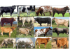 Types of cattle