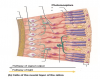 Cells of the neural layer of the retina