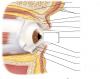 The Eye and Vision: lateral view, saggital section