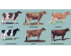 Dairy breeds and their characteristics