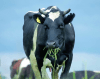 Dairy Cow Nutrition